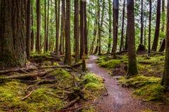La mousse couvre presque tout excepté l'enroulement de chemin par Hoh Rain Forest photo libre de droits