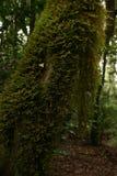 La mousse de couleur verte accroche dans le tronc Photos libres de droits