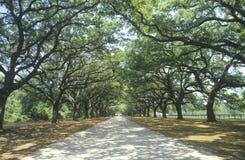 La mousse espagnole a couvert des chênes rayant une route de plantation, Sc Photos stock