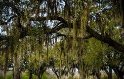 La mousse pend de l'arbre Photos stock