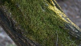 La mousse verte sur l'écorce d'arbre photographie stock libre de droits