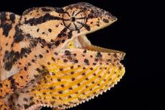 La Mozambique a agité le petersii étranglé de dilepis de Chamaeleo de caméléon image stock