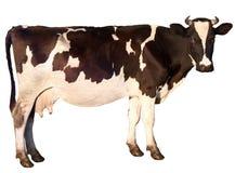 La mucca è isolata Fotografia Stock Libera da Diritti