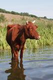 La mucca Fotografie Stock Libere da Diritti