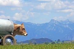 La mucca Fotografia Stock Libera da Diritti