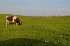 La mucca. fotografia stock