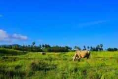 La mucca Immagini Stock Libere da Diritti