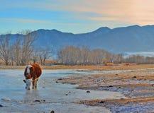 La mucca beve l'acqua da sotto il ghiaccio in The Creek, Gorny Altai, Siberia, Russia Immagine Stock Libera da Diritti