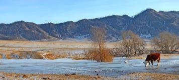 La mucca beve l'acqua da sotto il ghiaccio in The Creek, Gorny Altai, Siberia, Russia Immagini Stock