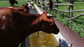 La mucca beve l'acqua dalla depressione Una mucca vuole bere, acqua potabile della mucca da latte stock footage