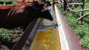 La mucca beve l'acqua dalla depressione Una mucca vuole bere, acqua potabile della mucca da latte archivi video
