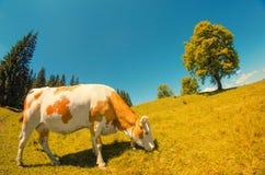 La mucca bianca macchiata mangia l'erba sul prato alpino con l'alto YE solo Fotografie Stock