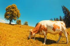 La mucca bianca macchiata mangia l'erba sul prato alpino con l'alto YE solo Immagine Stock