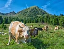 La mucca bianca nella priorità alta guarda il fotografo dalla fine Nei precedenti pasce un grande gruppo di mucche in montagna Fotografie Stock