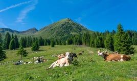 La mucca bianca nella priorità alta guarda il fotografo dalla fine Nei precedenti pasce un grande gruppo di mucche in montagna Fotografia Stock Libera da Diritti