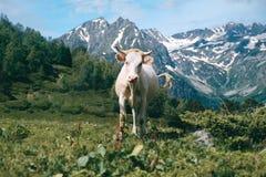 La mucca bianca sola sta nella valle della montagna al fondo dei picchi nevosi Fotografie Stock Libere da Diritti