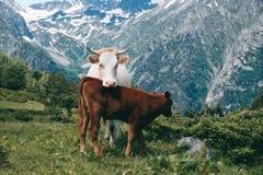 La mucca bianca sta nella valle della montagna al fondo dei picchi nevosi con il piccolo vitello Immagine Stock Libera da Diritti