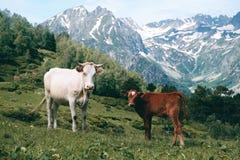La mucca bianca sta nella valle della montagna al fondo dei picchi nevosi con il piccolo vitello Fotografia Stock Libera da Diritti