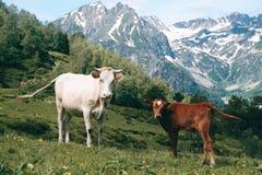 La mucca bianca sta nella valle della montagna al fondo dei picchi nevosi con il piccolo vitello Immagine Stock