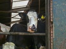 La mucca in bianco e nero sta guardando attraverso la entrata della stalla immagini stock libere da diritti