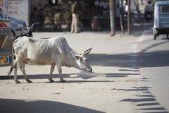 La mucca cammina su una via della città e manifesto di masticazione Immagini Stock Libere da Diritti