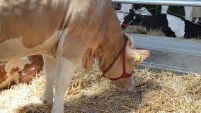 La mucca che mangia fieno video d archivio