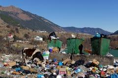 La mucca che mangia i rifiuti domestici Teberda, Karachay-Cherkessia, Russia 22 novembre 2016 Fotografia Stock Libera da Diritti