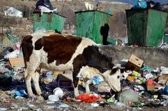 La mucca che mangia i rifiuti domestici Teberda, Karachay-Cherkessia, Russia 22 novembre 2016 Fotografie Stock