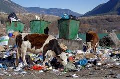 La mucca che mangia i rifiuti domestici Teberda, Karachay-Cherkessia, Russia 22 novembre 2016 Immagine Stock Libera da Diritti