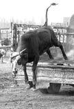 La mucca che salta dal camion immagine stock