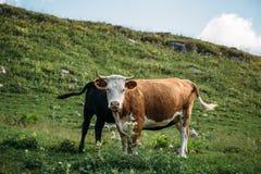 La mucca con il vitello sul prato di verde della montagna, mucca di Brown esamina la macchina fotografica Bestiame su un pascolo  Immagine Stock