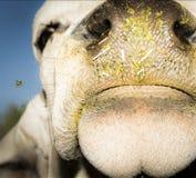 La mucca curiosa verifica l'insetto di volo ricevuto Immagine Stock