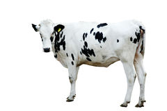 Mucca da latte isolata Immagine Stock Libera da Diritti