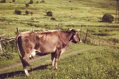 La mucca da latte di Brown gode dell'erba verde dell'estate Animale da allevamento Paesaggio rurale Agricoltura del concetto Prat Immagini Stock Libere da Diritti