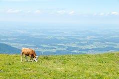 La mucca da latte pasce in un alto prato alpino Immagine Stock