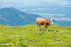 La mucca da latte pasce in un alto prato alpino II Immagine Stock