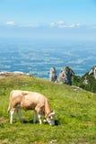 La mucca da latte pasce in un alto prato alpino III Immagine Stock