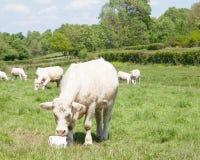 La mucca da macello del charolais bianco che mangia il sale lecca il supplemento minerale per Immagini Stock Libere da Diritti