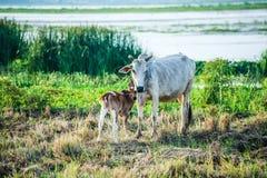 La mucca del bambino e della madre sta vicino al fiume Fotografie Stock