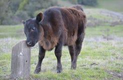 La mucca del bambino sfrega il suo fronte su un ceppo Fotografia Stock