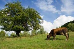 La mucca del Brown pasce sul campo vicino alla parte posteriore del cielo e dell'albero Immagini Stock