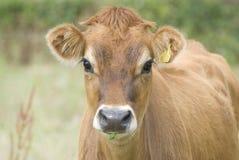 La mucca del Jersey Fotografie Stock