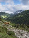 La mucca del Limosino in montagne si avvicina ai vars in francese Alta Provenza Fotografia Stock Libera da Diritti