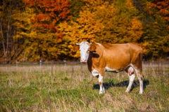 La mucca del paesaggio di autunno pasce Mucca che pasce nel prato in autunno Immagine Stock