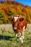 La mucca del paesaggio di autunno pasce Mucca che pasce nel prato in autunno La mucca pasce vicino alla foresta di autunno Fotografia Stock Libera da Diritti