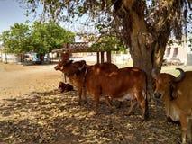 La mucca del villaggio immagine stock