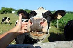 La mucca dell'Holstein vuole le certe coccole fotografia stock