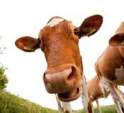 La mucca di Guernsey Immagine Stock