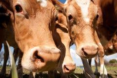 La mucca di Guernsey Immagine Stock Libera da Diritti