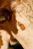 La mucca di Guernsey Fotografia Stock